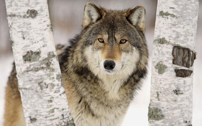 Чоно өнөөгийн хүнээс илүү ухамсартай амьтан болохыг баталсан ийм нэгэн явдал